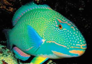 Rainbow-Parrot-Fish.jpg