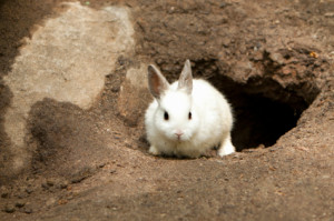 Cute White Rabbit leaving burrow